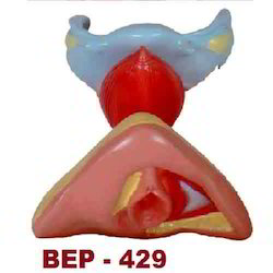 Female Internal & External Genital Organs ( BEP-429 )