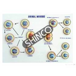 Model Of Meiosis