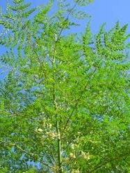 Muringa Leaves