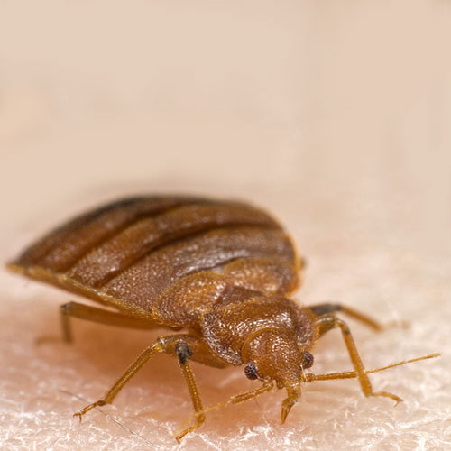 Bed Bug Control Services Pest Control Solutions In Shaniwar Peth