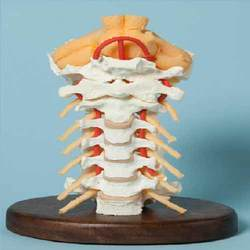 Human Cervical Spinal Column ( BEP-133 )