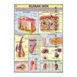 HP27S-Human Skin Charts