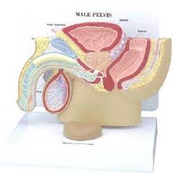 Male Pelvis With Prostate Anatomy Model