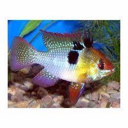 Remirezi Fishes