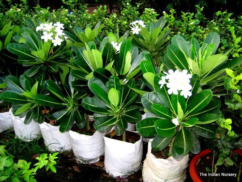 Red Yellow Black White Plumeria Plants At Rs 100 Piece