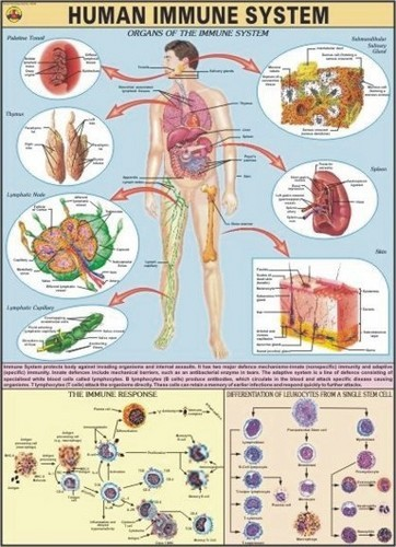 Human Immune System For Human Physiology Chart at Rs 180 /piece ...
