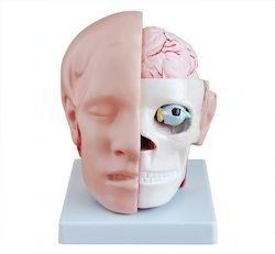 Head With Brain BEP-318B