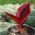 Red Canna, Rare Australian Canna With Red Leaves