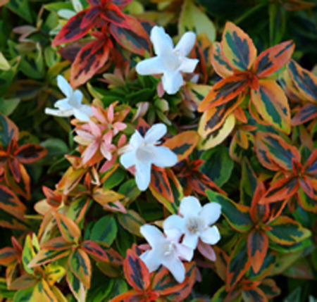 Ground Cover Plants Abelia Variegated Wholesale Trader From Hosur