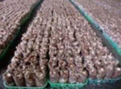 Mushroom Seeds For Sale