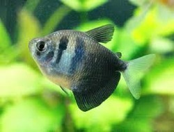 Black Widow Fish