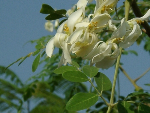 Drumstick Flower त ज फ ल फ र श फ ल वर In Jaybharat Society Mumbai Aum Himalaya Sanjeevini Essences Pvt Ltd Id 1844473788