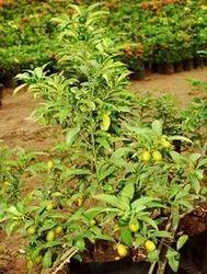 Fruit Plants Green World Nursery Manufacturer In Rajahmundry