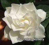 Gardenia jasminoides 'Plena'