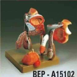 Male Genital Organs ( BEP/A15102 )