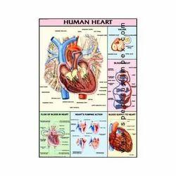 HP10S-Human Heart Charts