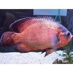 Fire Oscar Fish