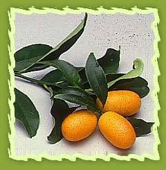 Citrus Fruits, Orange, Tangarine, Maltese Orange