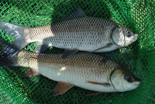 Raghu / Rahu: (Lebeo rohita) FISH SEEDS & Asian Catfish