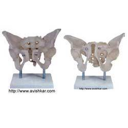 Adult Male Pelvis With Stand