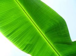 Banana Leaves In Erode Tamil Nadu