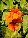 Canna indica ( Flowering plant )