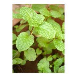 Spearmint Oil (All Grade)
