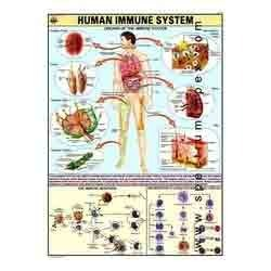 HP26S-Immune System Charts