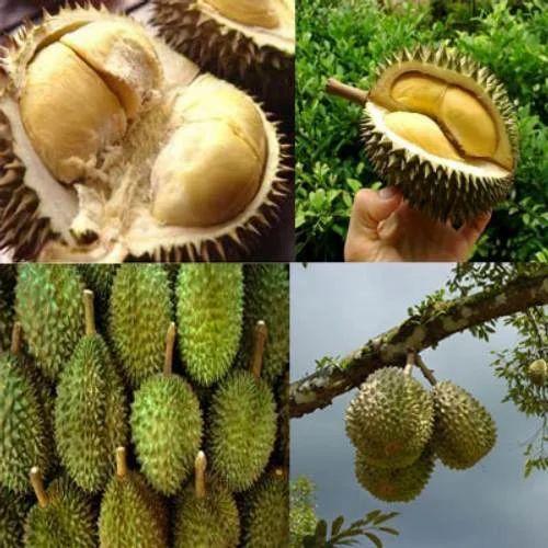 Fresh Durian Fruits À¤¡ À¤° À¤¯à¤¨ À¤« À¤° À¤Ÿ In Chennai S S Tours Travels Call Driver Id 2923723773