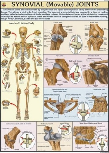 Movable Joints Synovial For Human Physiology Chart At Rs 180