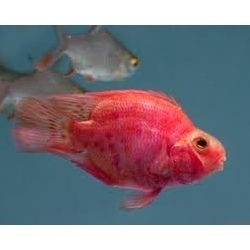 Red Parrot Fish