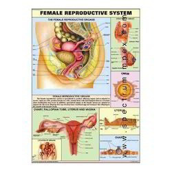 HP13S-Female Reproductive System