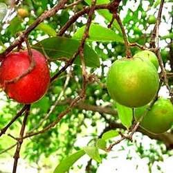 Kokum Fruit Juice Powder
