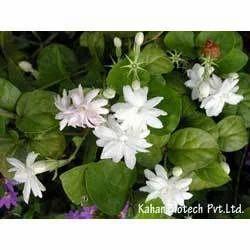 Jasmine Grandiflorum Extract