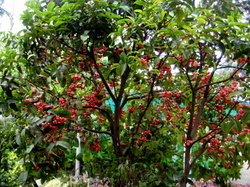 Red Malay Apple Fruit Plants