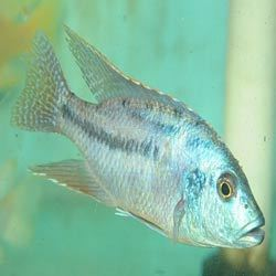 Malawi Eye Biter Fish