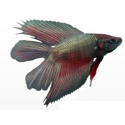 Double Tail Fighter Fish