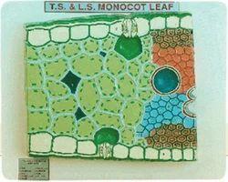 Monocot Leaf, TS