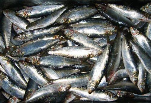 Sardine Fish Fish Shaheed Ashfaque Ullah Khan Fish Market