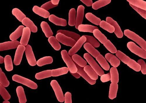 bacillus subtilis at rs 2000 kilogram bacillus subtilis id