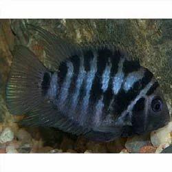 Zebra Convict Cichlid Fish