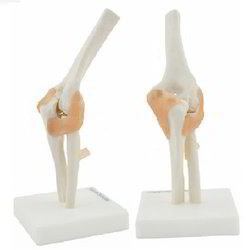 Life-Size Elbow Joint ( BEP-112 )
