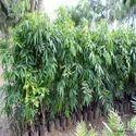 Polyalthia Longifolia Var. Pendula