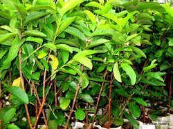 Guava Fruit Plants