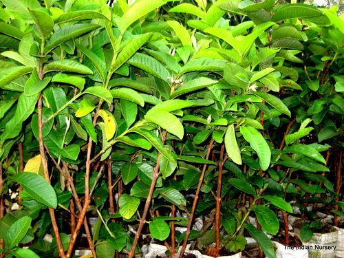 Fruit Plants - Mango Grafted Saplings Fruit Plant Exporter from Howrah
