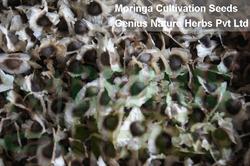 Moringa Oliefera Hybrid Seeds