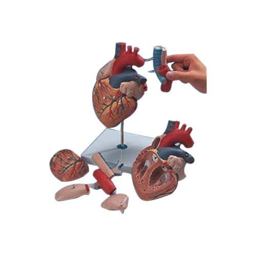 Human Heart-7 Parts, Biological Models | Ambala Cantt, Ambala ...