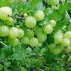 Amala (Indian Gooseberry)