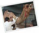 Treatment Of Camels