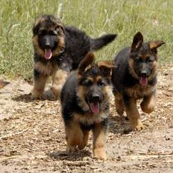 How to price a german shepherd puppy